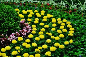Marigolds seem to be the gardening choice this year